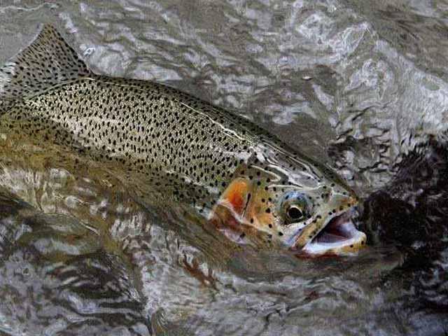 """Loại cá trong danh sách đen ở nhiều quốc gia nhưng lại trở thành """"của hiếm"""" ở Trung Quốc"""