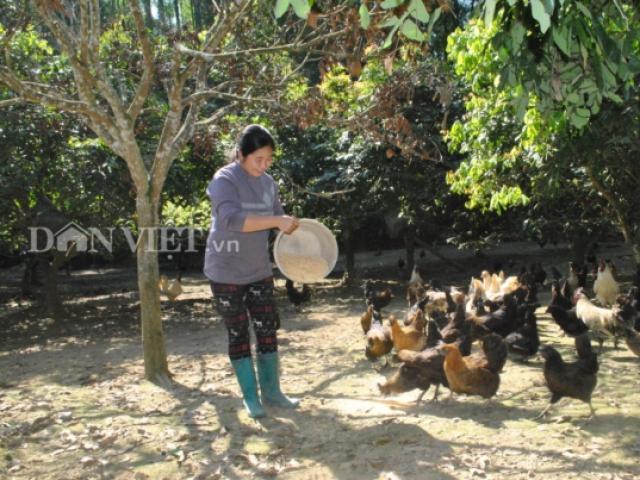Nuôi loài gà xương đen xì xì, thu 400-500 triệu đồng mỗi năm
