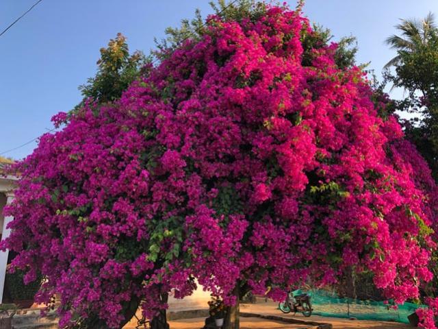 """""""Độc nhất vô nhị"""" Quảng Ngãi: """"Cụ"""" bông giấy khổng lồ phủ hoa rực rỡ"""