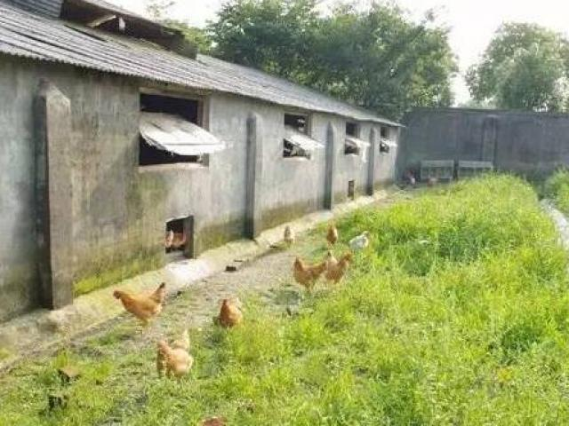 9X về quê nuôi loại gà đặc biệt, bán hơn 1 triệu đồng/con