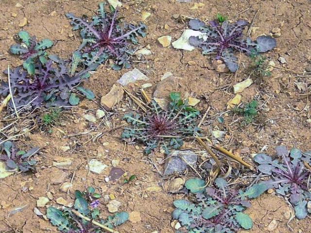 Thấy loại rau dại này mọc, đừng nhổ vứt vì nó rất quý, làm món ăn thanh nhiệt, bổ gan