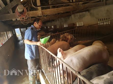 Kiếm tiền tỷ nhờ nuôi lợn bằng thảo dược - 1