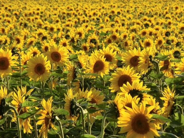 Thiên đường hoa đẹp mê li ở Nhật miễn phí vào cửa cho du khách - 8