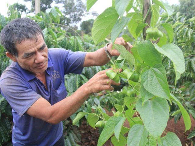 """Tây Nguyên: Giá giảm tới 90%, nông dân """"vỡ mộng vàng"""" cây sachi"""