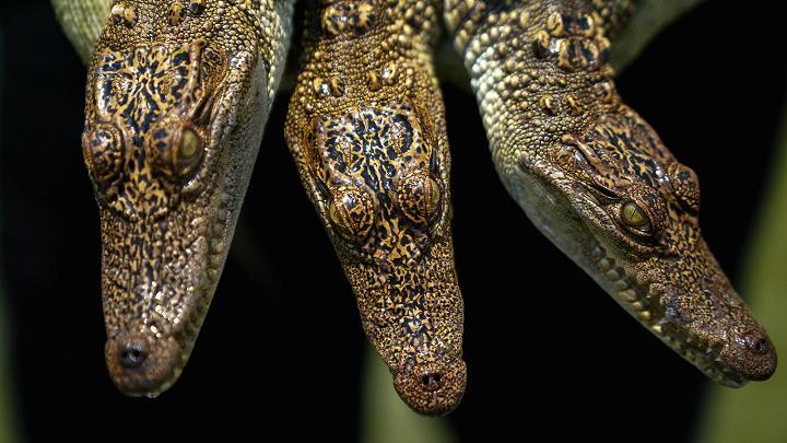 Choáng có ngành công nghiệp nuôi cá sấu ở Thái Lan - 7