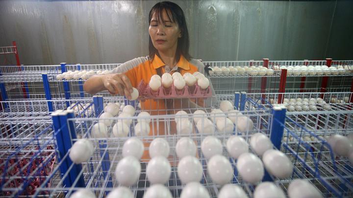 Choáng có ngành công nghiệp nuôi cá sấu ở Thái Lan - 5