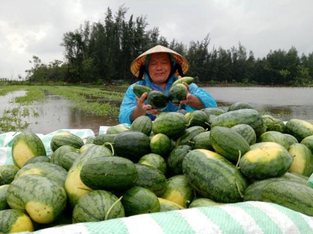 Thanh Hóa: Nông dân ứa nước mắt vớt dưa hấu về cho bò ăn