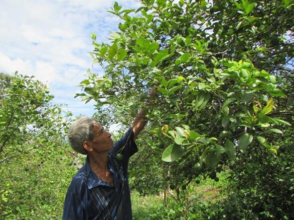 Nghệ An: Giá chanh rớt thảm, nông dân mòn mỏi ngóng thương lái - 1