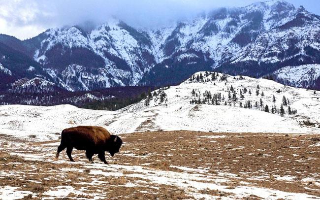 Vườn quốc gia Yellowstone, Hoa Kỳ: Đỉnh núi lửa lớn Yellowstone là nơi trú ngụ của bò rừng bison có từ thời tiền sử. Trong những tháng mùa đông, khi những khu vực cao hơn được bao phủ bởi một lớp tuyết dày, bò rừng di cư đến những nơi thấp hơn, nơi nó dễ dàng tìm ra cỏ. Đây là thời điểm cho những người yêu động vật hoang dã đến chiêm ngưỡng cảnh quan thiên nhiên tuyệt đẹp cũng như thỏa thích ngắm nhìn bò rừng, gấu, hươu, sói và linh dương.