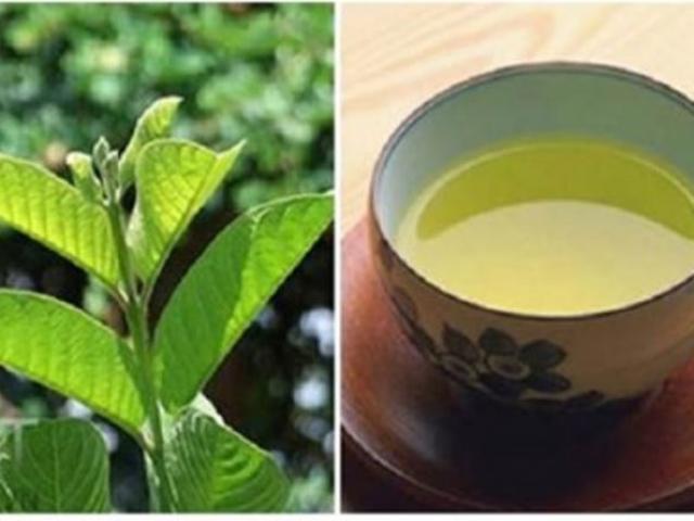 """""""Thần dược"""" trà lá ổi chống ung thư, hỗ trợ chữa tiểu đường"""