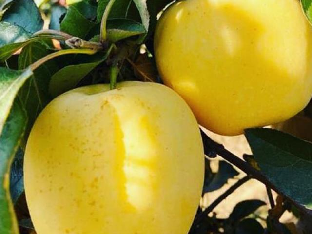 Những điều bạn chưa biết về giống táo mật đang khiến người Việt phát sốt