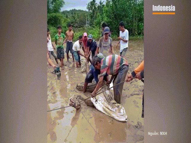 Video: Người dân bất ngờ bắt được trăn khổng lồ trên cánh đồng lúa
